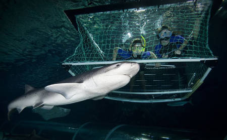 Shark Cage Dive at Kelly Tarltons 664x411