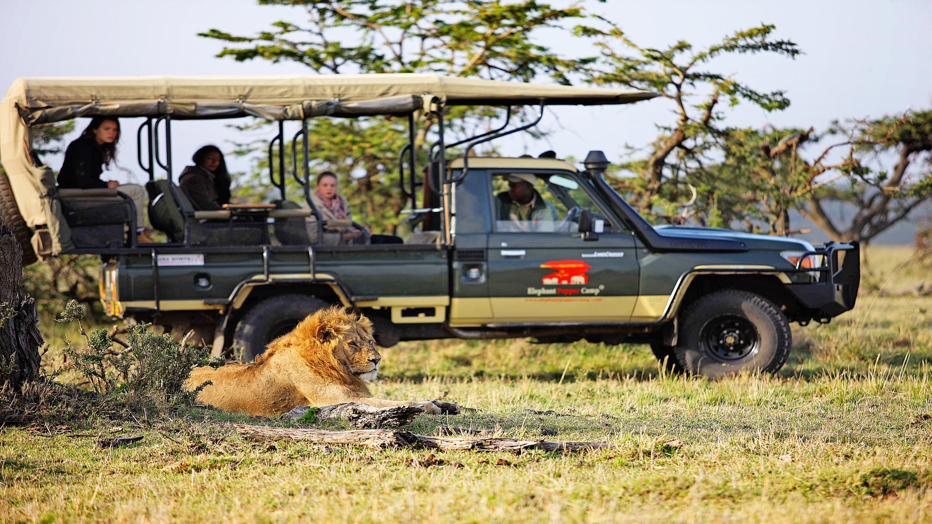 Elephant-Pepper-Camp---Game-Drive---Lion