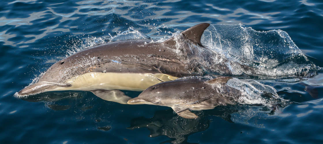 Dolphin Watching Cruise From Nelson Bay