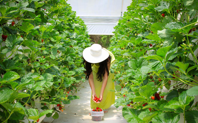 Rydges_Sails_Strawberry-Picking
